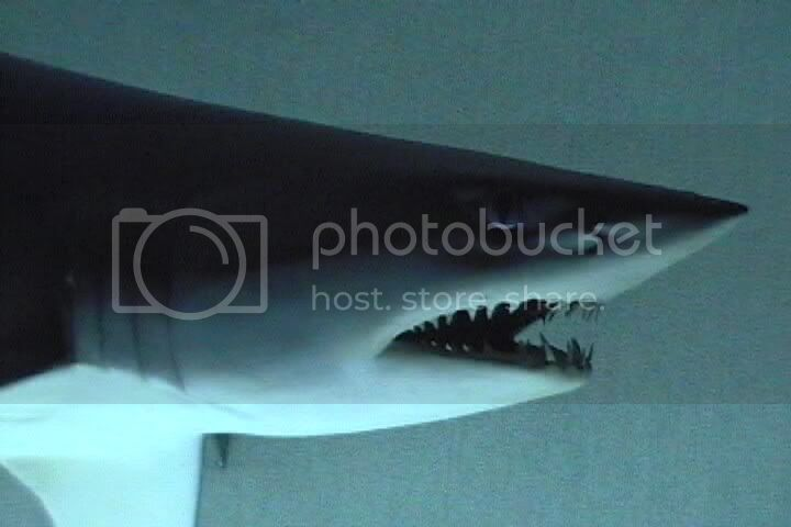 shark image